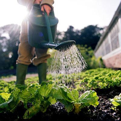 garden-lettuce-water
