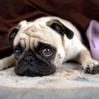 dog-pug-tina